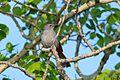 Gray Catbird (14150485978).jpg