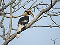 Great Hornbill DSCN8644 03.jpg