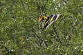 Great Hornbill Nelliyampathy Flying.jpg