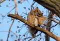 Great Horned Owl (466496281).png