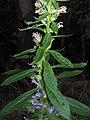 Great Lobelia leaves (3004017676).jpg