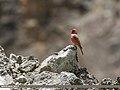 Great Rosefinch (Carpodacus rubicilla) (36270365506).jpg