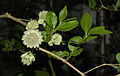 Great masterwort - Astrantia major (16665696227).jpg