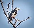Great spotted woodpecker (49136413907).jpg