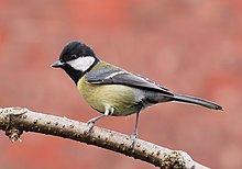 Great tit side-on.jpg