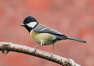 Great tit species of bird