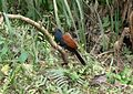 Greater Coucal. Centropus sinensis - Flickr - gailhampshire.jpg