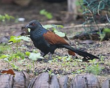 Greater Coucal (Centropus sinensis) - Flickr - Lip Kee.jpg