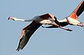 Greater Flamingo, Phoenicopterus roseus at Marievale Nature Reserve, Gauteng, South Africa (29345420661).jpg