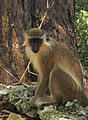Green Monkey in Barbados 04.jpg
