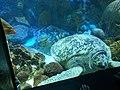 Green sea turtle 3.jpg