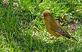 Greenfinch (Carduelis chloris) (16590917293).jpg