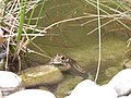 Grenouille (Anura) (2).jpg