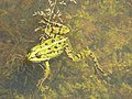 Grenouille (Ranidae) (2).jpg