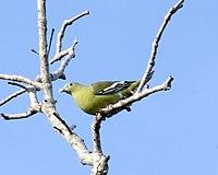 Grey-cheeked Green Pigeon (Treron griseicauda wallacei)