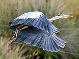 Grey Heron (Ardea cinerea) (3).jpg