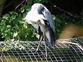 Grey Heron (Ardea cinerea) (7979297425).jpg