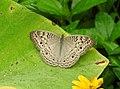 Grey Pansy Junonia atlites by Dr Raju Kasambe DSCN2737 (2).jpg