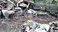 Grey Wagtails. Motacilla cinerea (46010973052).jpg