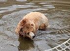 Grizzly bear - Ursus arctos horribilis.jpg