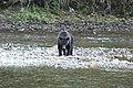 Grizzly on the Nekite River - panoramio - Jack Borno (4).jpg