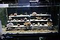 Growing coral (3814394886).jpg