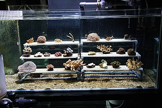 """Fragmentation (reproduction) - Corals can be multiplied in aquaria by attaching """"frags"""" from a mother colony to a suitable substrate, such as a ceramic plug or a piece of live rock. This aquarium is designed specifically for growing coral colonies from frags."""