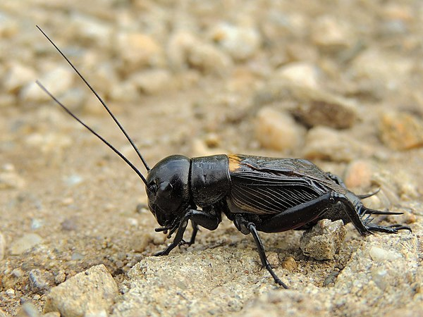 Field cricket Feldgrille greier, by xulescu_g.