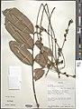 Guarea glomerulata-NMNH-03321940.jpg