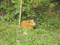 Guinea pig in grass.JPG