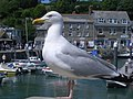Gull waiting to steal people's chips in Padstow Harbour - geograph.org.uk - 1423321.jpg