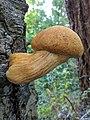 Gymnopilus ventricosus (Earle) Hesler 695981.jpg