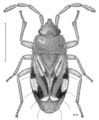 HEMI Rhyparochromidae Tomocoris ornatus.png
