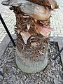 HK Ap Lei Chau Wind Tower Park 鴨脷洲風之谷公園 tree Washingtonia Robusta Wendl trunk root April-2012.JPG