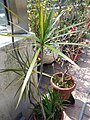 HK Mid-levels High Street clubhouse green leaves plant February 2019 SSG 54.jpg