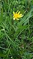 Hadí mord nízký – Scorzonera humilis (01).jpg
