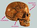 Hallonflickans kranium 4355.jpg