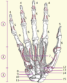 Hand bones numbered.png
