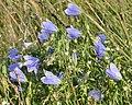 Harebell (Campanula rotundifolia) - Bay Roberts, Newfoundland 2019-08-12.jpg