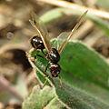Harvester Ant Queen (15770438849).jpg