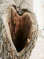 Heart hole in a tree.jpg