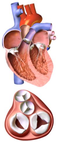 Corte frontal de un corazón humano. Tras retirar las aurículas y las más importantes arterias, son claramente visibles las cuatro válvulas del corazón.