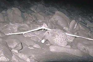 Hedgehogs in New Zealand - Hedgehog eating black-fronted tern egg