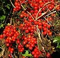 Hedgerow harvest - geograph.org.uk - 1035957.jpg