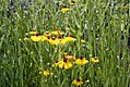 Helenium flexuosum Tiny Dancer 0zz.jpg
