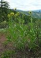 Helianthella uniflora var. douglasii 2.jpg