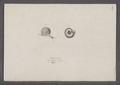 Helix villosa - - Print - Iconographia Zoologica - Special Collections University of Amsterdam - UBAINV0274 089 01 0050.tif