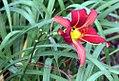 Hemerocallis fulva 11zz.jpg