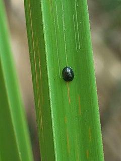 <i>Hemisphaerota</i> Genus of beetles