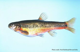 Flame chub Hemitremia flammea, one of the chubs in the Leuciscinae) Hemitremia flammea.jpg